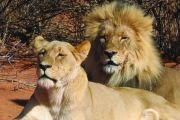 Lions - Big 5 Safari Garden Route