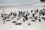 Cape Peninsula Tour - Boulders Beach Penguins