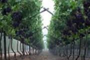 Cape Winelands - Vineyards